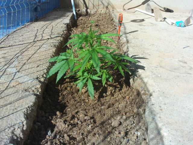 máxima producción de marihuana en exterior